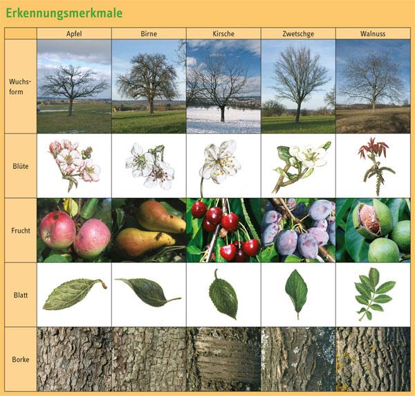 Obstbäume erkennen