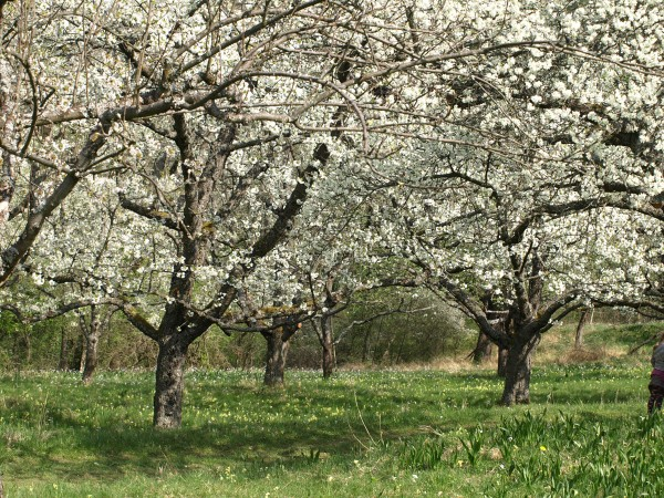 Mössinger Streuobstbäume blühen