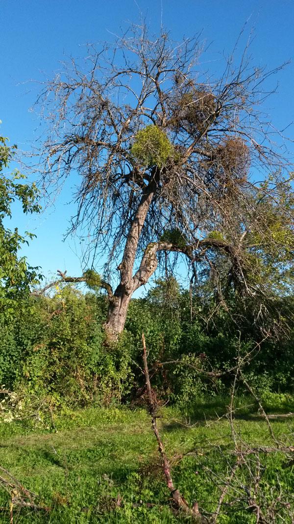 Kein schöner Anblick: Dieser Baum wurde von den Misteln zerstört.