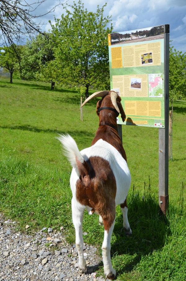 """""""Hier steht ja gar nichts über Ziegen. Aber interessant ist es trotzdem!"""" (Bild: Daniela Wörnle)"""