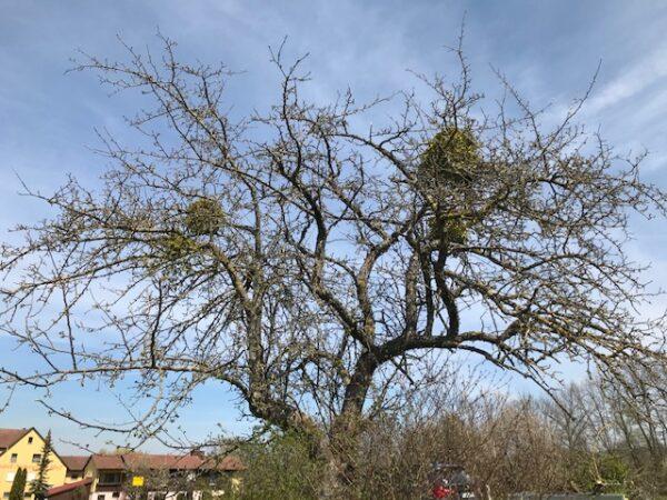 Baum vor der Aktion mit Misteln