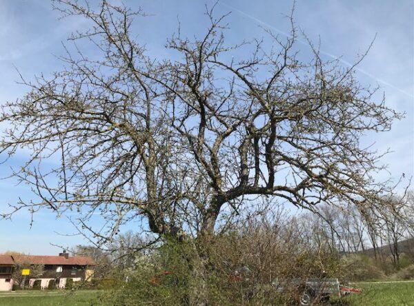 Baum nach der Aktion ohne Misteln