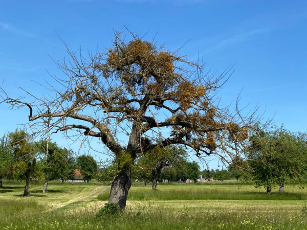 Von Misteln befallener Baum (Bild: Jannik Deibler)