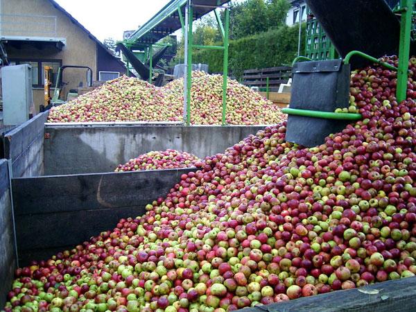 Große Menge geernteter Äpfel