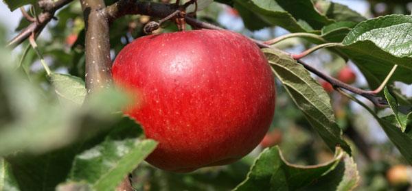 Apfel, am Baum hängend