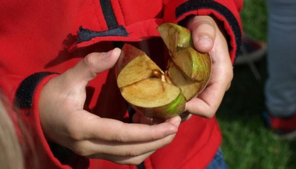 Das knifflige Apfelpuzzle - welche Stücke gehören zusammen?