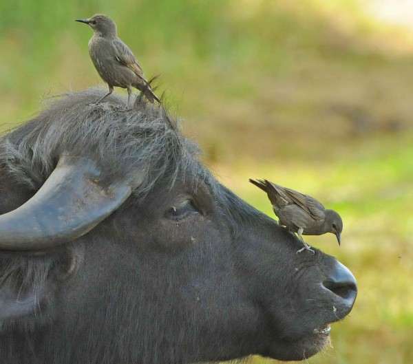 """Die """"Fliegenhacker"""" vom Federsee auf einem Wasserbüffel. Er lässt sich  von den Staren gerne auf der Nase herum tanzen, da diese lästige Fliegen und Bremsen erbeuten oder verjagen. (Foto: D. Haas)"""