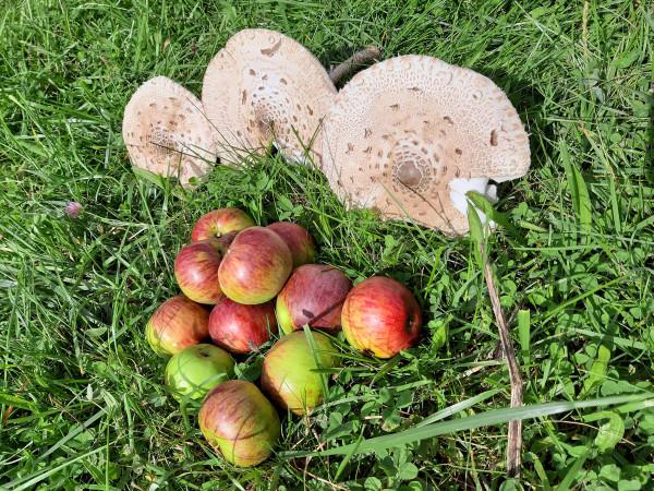 Äpfel und Parasolpilze