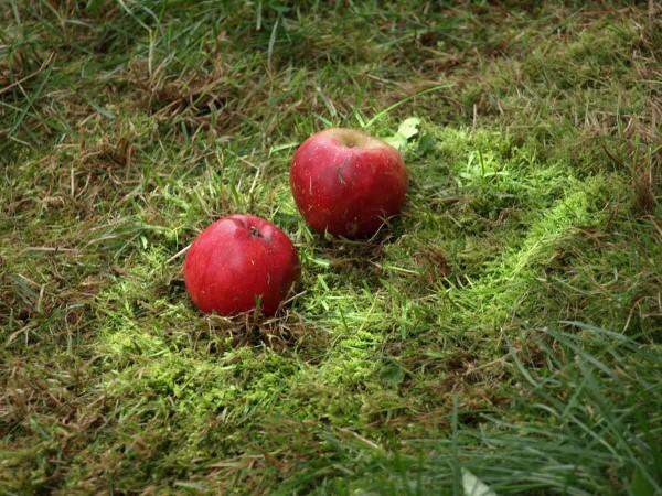 Diese Äpfel warten geduldig darauf, vom Rollblitz-Weltmeister eingefangen zu werden.
