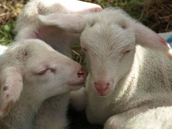 Hoher Knuddelfaktor: Junge Schafe beim Mössinger Apfelfest.