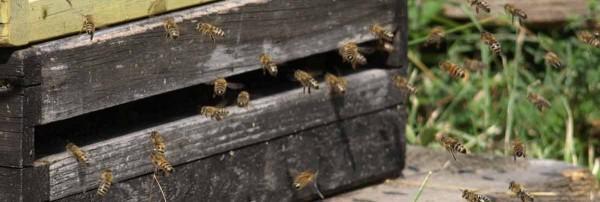 Die feißigen Bienen lassen sich nicht stören.