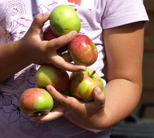 Viele Finger halten geschickt die glitschigen Äpfel.