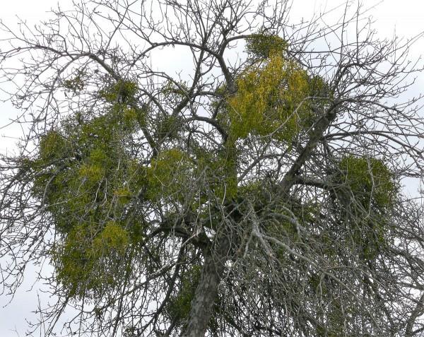Misteln befallen hauptsächlich ältere Bäume - aber nicht nur. (Bild: Hans Wener)