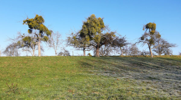 Drei von Misteln befallene Bäume im Steinlachtal